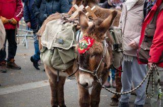 foire aux ânes moyaux calvados Normandie